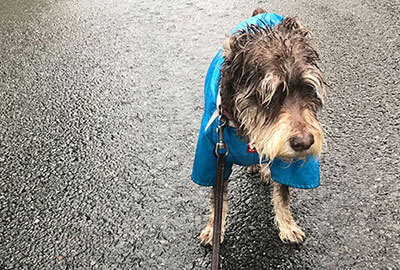 ミニチュアシュナウザー と雨の散歩