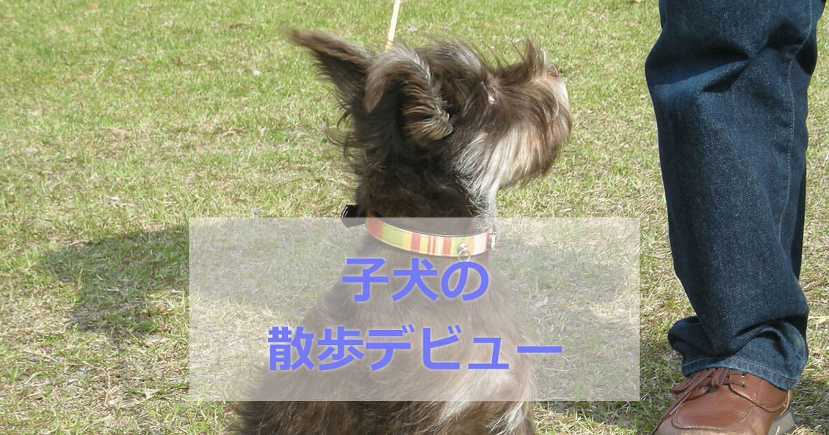 子犬の散歩デビュー