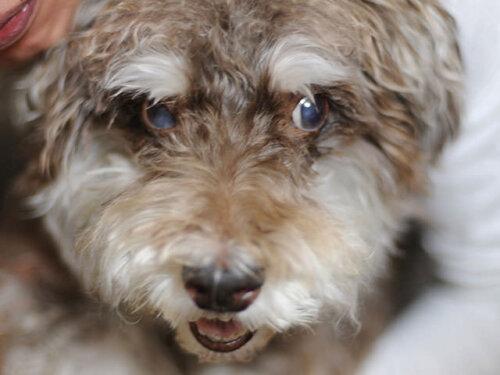 老犬のミニチュアシュナウザー